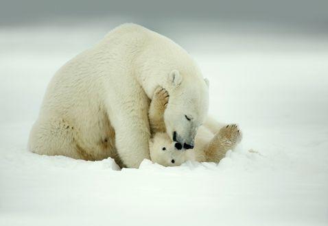 Обои Белый медведь со своим малышом на снегу
