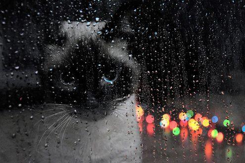 Обои Кошка за окном с каплями дождя, фотограф Carlotta Ricci