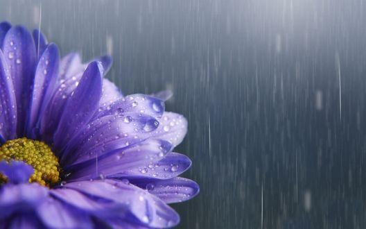Обои Сиреневый цветок астры под дождем