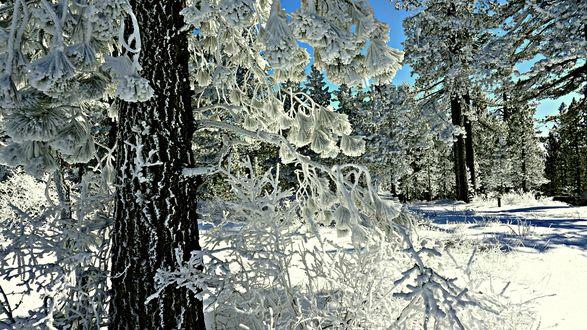 Обои Сосновый лес в снегу