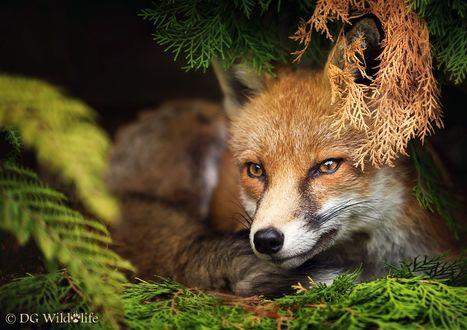 Обои Рыжая лиса на природе, фотограф Giedrius Stakauskas, DG Wildlife