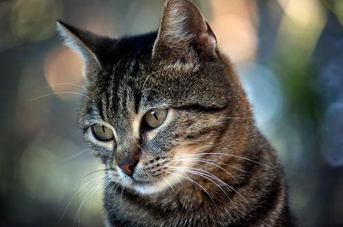 Обои Мордочка полосатого кота