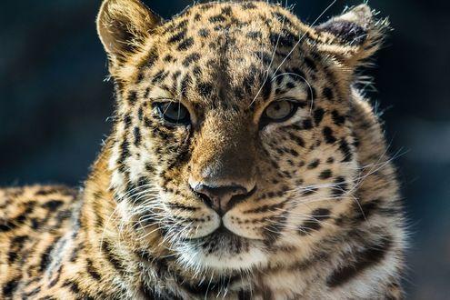 Обои Леопард смотрит вперед, фотограф Kalyan Peri