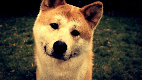 Обои Собака породы Акита-ину крупным планом