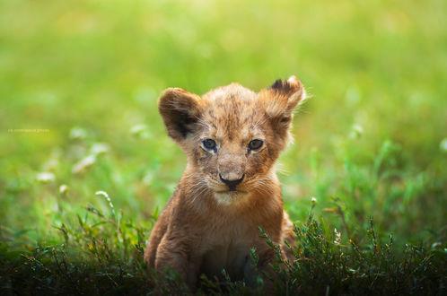 Обои Маленький львенок в траве, фотограф Slava Lucky