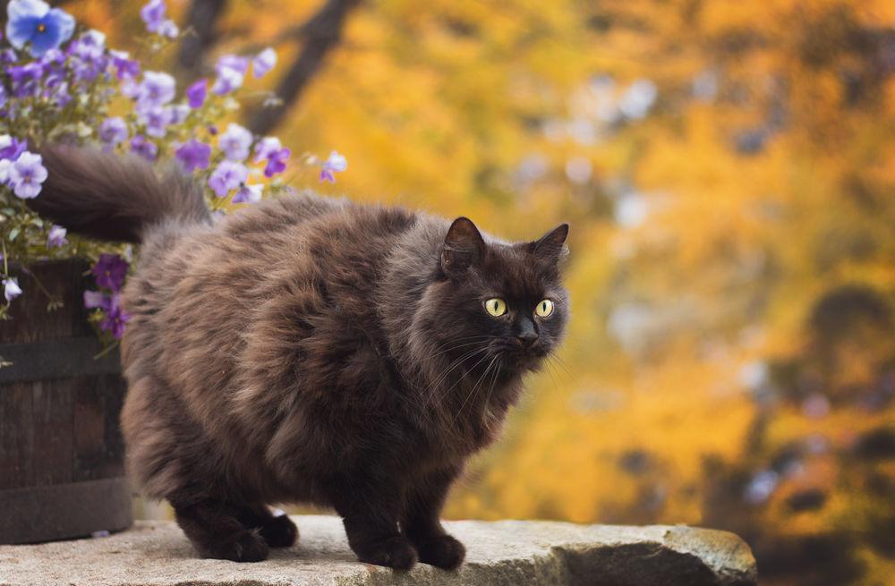 Обои для рабочего стола Черный кот стоит на камне у кадки с сиреневыми цветами, by Thunderi