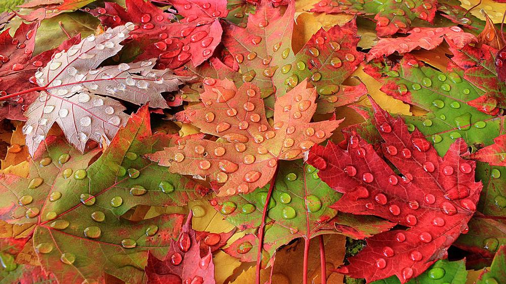 обои на рабочий стол кленовые листья осенью 14832