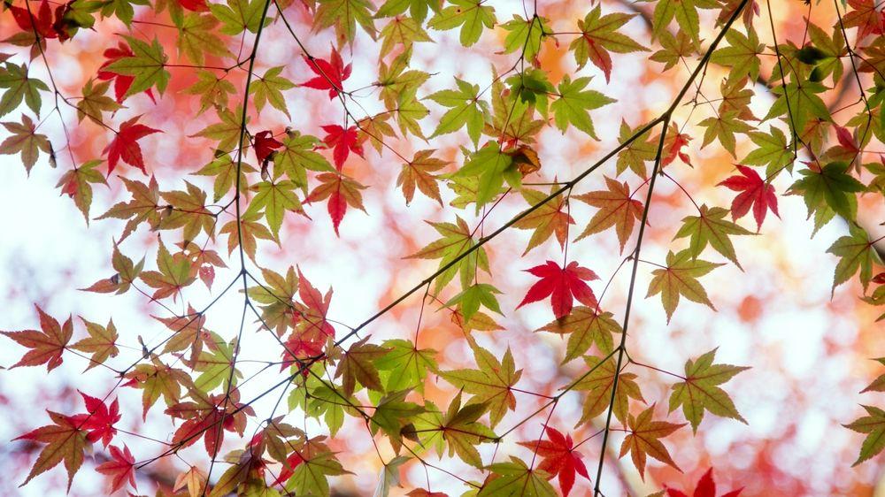 обои на рабочий стол кленовые листья осенью 14828