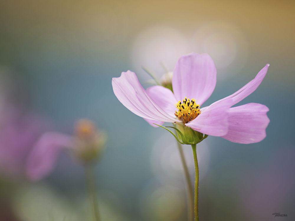 Обои для рабочего стола Розовая космея, фотограф Dimitra Levterova