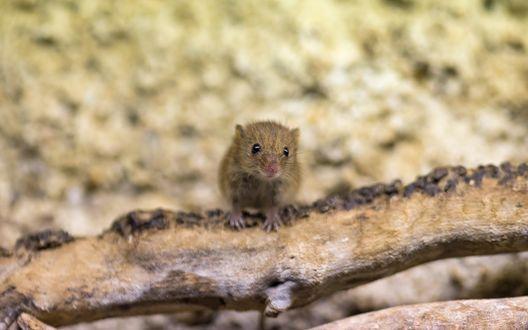 Обои Мышка сидит на коряге, by ©Tambako The Jaguar