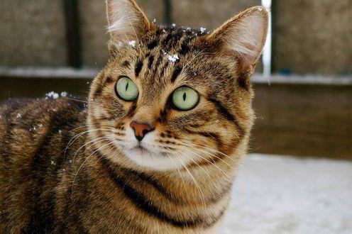 Обои Кот с зелеными глазами в снегу
