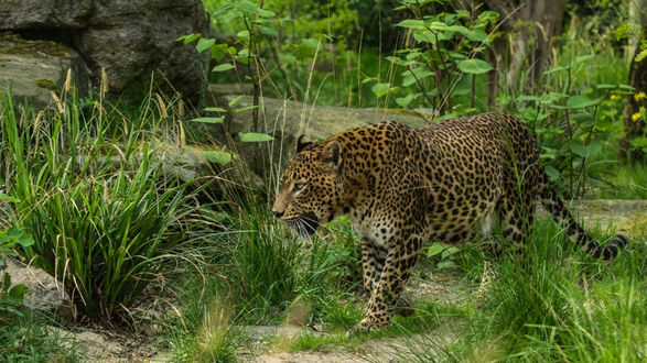 Обои Леопард идет среди травы