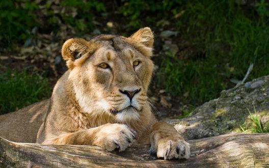 Обои Лев на природе