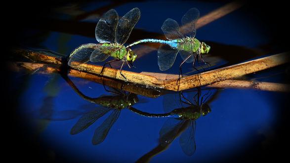 Обои Две стрекозы сидят на сухой веточке над водой