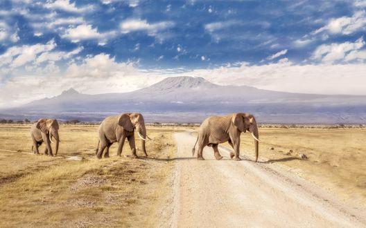 Обои Кения, национальный парк Амбосели, слоны переходят дорогу