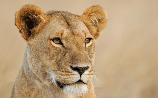 Обои Лев смотрит в сторону