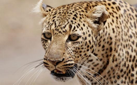 Обои Леопард смотрит в сторону
