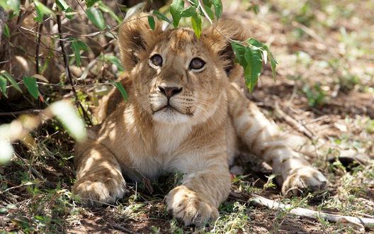Обои Маленький львенок лежит на земле под кустиком