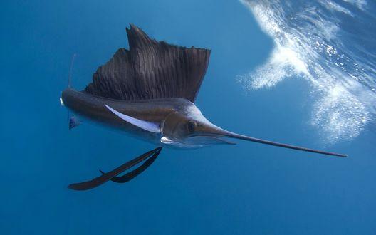 Обои Рыба парусник в синих волнах моря