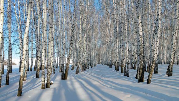 Обои Зимняя дорога идущая через березовую рощу