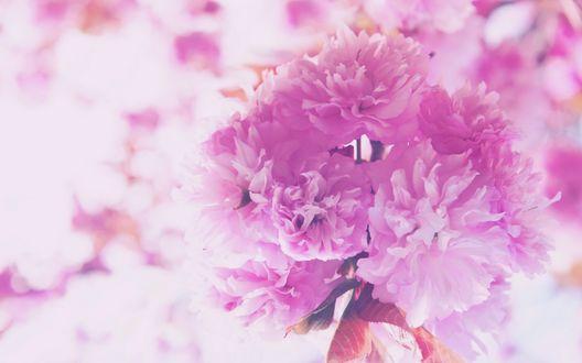 Обои Букет розовых пионов на размытом фоне