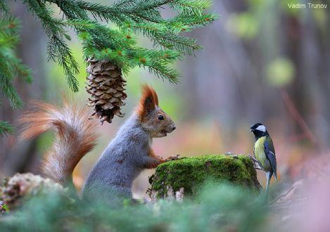 Обои Белка под елкой и напротив синица, фотограф Вадим Трунов