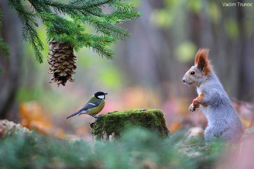 Обои Белка и синица на пне, фотограф Вадим Трунов
