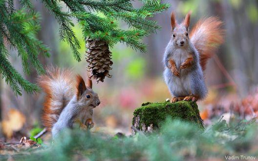 Обои Две белки в лесу, фотограф Вадим Трунов