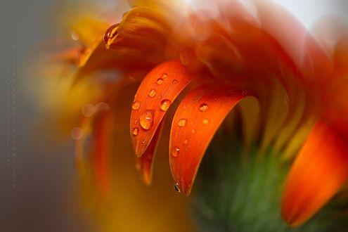 Обои Лепестки оранжевого цветка в каплях воды, фотограф Charo Arroyo