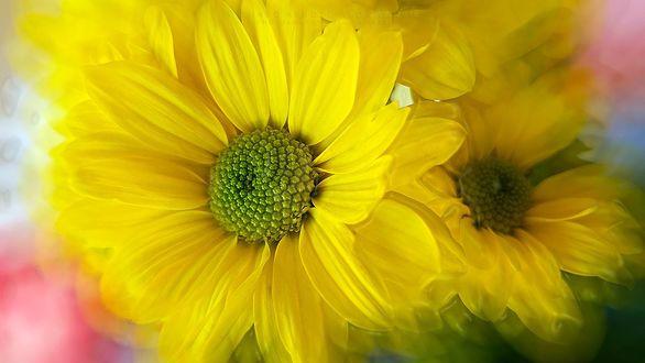 Обои Желтые хризантемы, фотограф Charo Arroyo