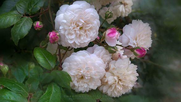 Обои Белые розы с бутонами, фотограф Charo Arroyo