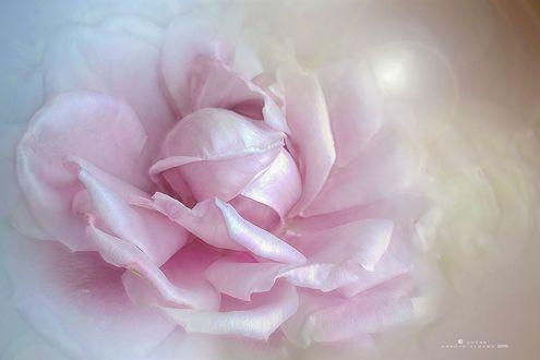 Обои Розовая роза крупным планом, фотограф Charo Arroyo