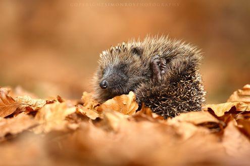 Обои Ежик в листве, фотограф Simon Roy