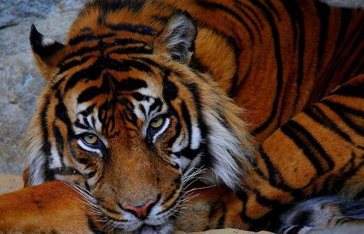 Обои Скучающий тигр, by mgelric