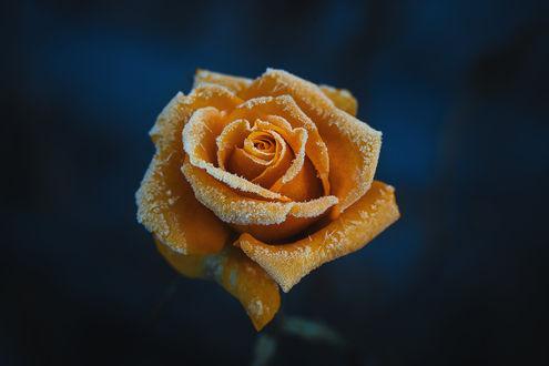 Обои Оранжевая роза в инее, фотограф Инна Сухова