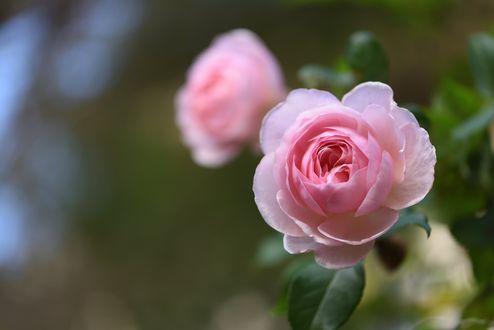 Обои Две розовые розы на размытом зеленом фоне