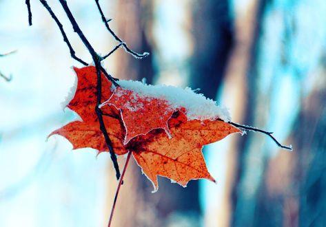 Обои Кленовый осенний лист в снегу, by indrekvaldek