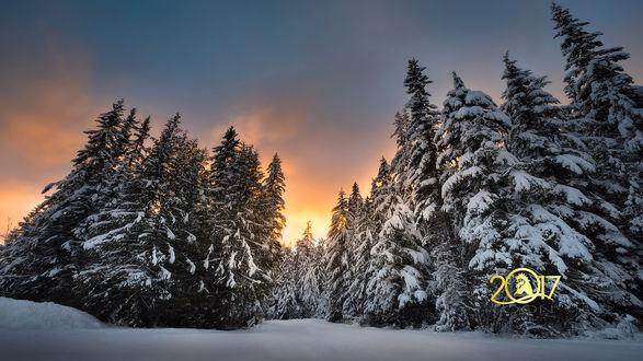 Обои Ели в снегу под облачным небом (2017)