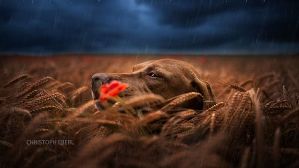Обои Собака в поле ржи, фотограф Christoph Eberl