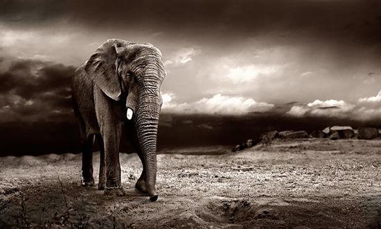 Обои Слон с цепью на ноге блуждает по пустынной местности