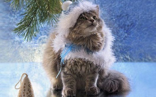 Обои Пушистая кошка в костюме снегурочки сидит возле игрушки и еловой ветки, фотограф Ирина Приходько