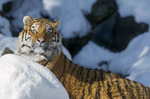 Обои Амурский тигр в снегу