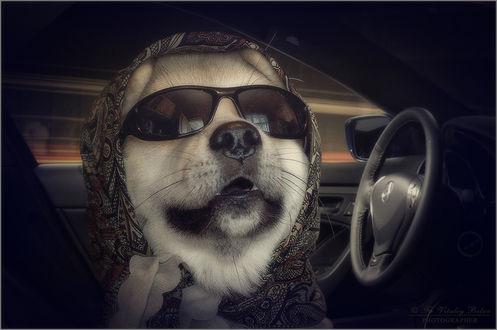 Обои Собака в платке и очках в авто