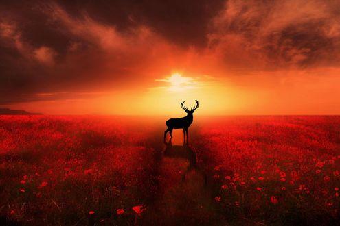 Обои Олень стоит на фоне заката посреди цветочного поля, фотограф Jenny Woodward