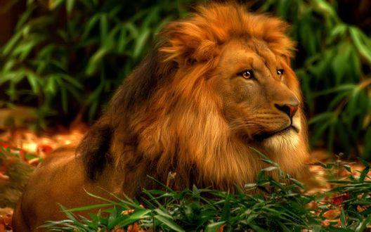 Обои Лев лежит на фоне природы