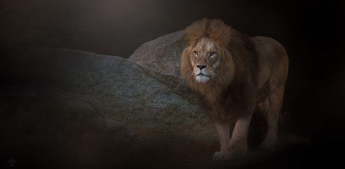 Обои Лев среди камней смотрит вдаль