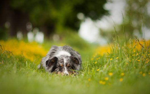 Обои Австралийская овчарка лежит в траве