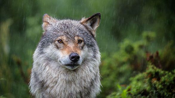 Обои Волк под дождем