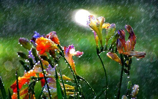 Обои Цветы под летним дождем