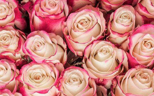 Обои Множество бело-розовых роз
